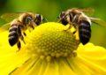 Coluna Fabriciano Corado – Ano novo – A lenda da abelha e da rosa
